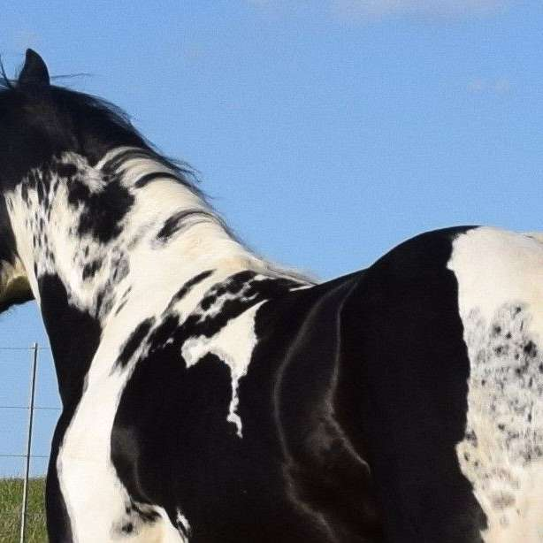APHA black homozygous tobiano stallion at stud