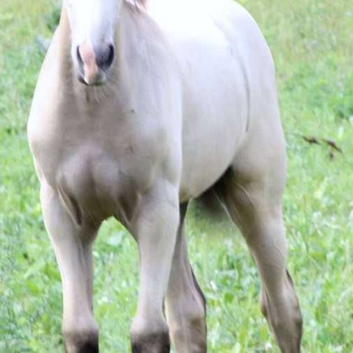 Prays Golden Gaits Tennessee Walking Horses