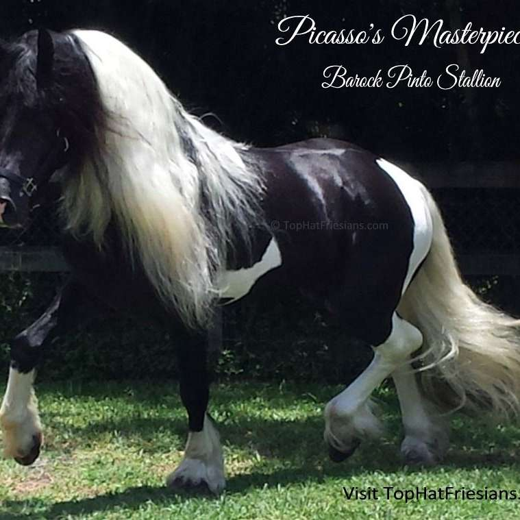 Top Hat Friesians and Barock Pintos