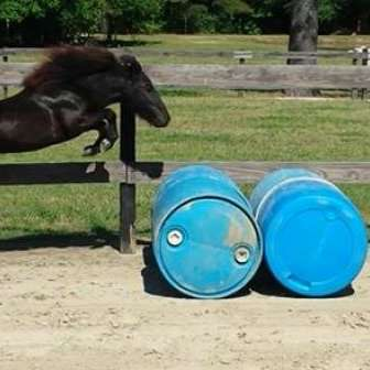 North Carolina Miniature Horses