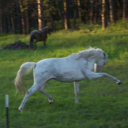 Blue Moon Spanish Mustangs
